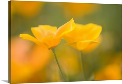Yellow Poppy Flower, Mount Hood, Oregon