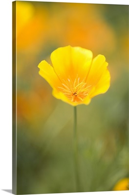 Yellow Poppy Flower, Mount Hood, Oregon