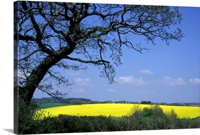 Yellow Rape Seed Field And Tree