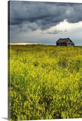 Yellow Sweet Clover And Old Abandoned Farm, Saskatchewan, Canada