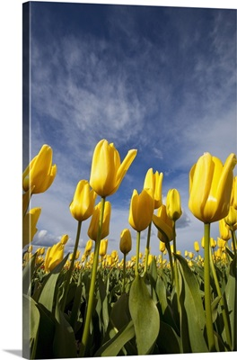 Yellow Tulips In A Field, Woodburn, Oregon