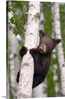 Young black bear cub in birch tree Minnesota forest spring