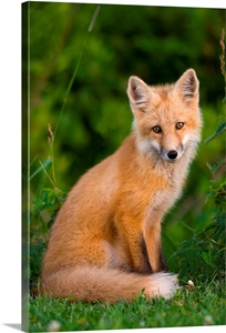 Young Red Fox Point Prim Prince Edward Island Canada