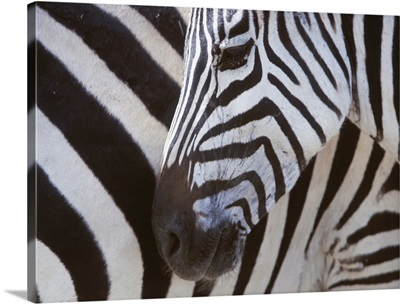 Zebras Face And Mid Body, Close Up; Tanzania