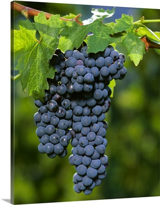 Zinfandel wine grapes on the vine, ripe and ready for harvest