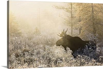 Algonquin Moose