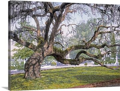 Live Oak in Magnolia Cemetery Charleston S.C