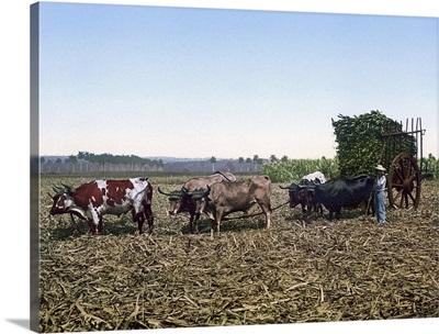 Load of Sugar Cane on a Cuban Plantation