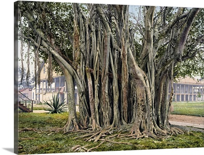 Rubber Tree in the U.S. Barracks Key West Florida Vintage Photograph