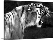 Teeth Bearing Tiger