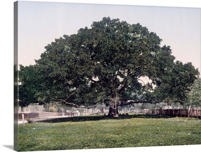 The Mammoth Oak Pass Christian Mississippi Vintage Photograph