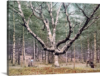 The Wizard Tree Cathedral Woods Intervale New Hampshire Vintage Photograph