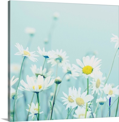 Day Daisies