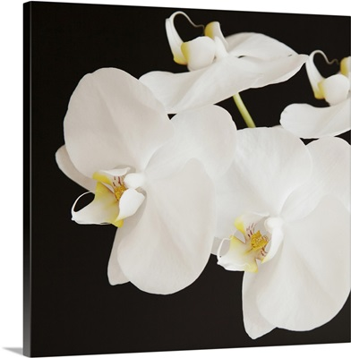 Dramatic Orchid II