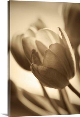 Illuminated Tulips II