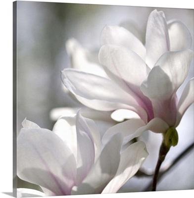 Ivory Magnolia