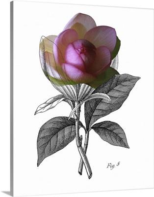 Lotus Botanical