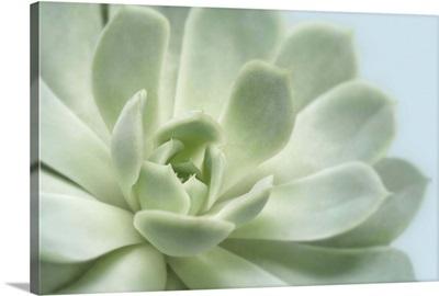 Soft Focus Succulent III