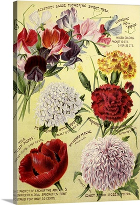1893 Maule's Seed Asters