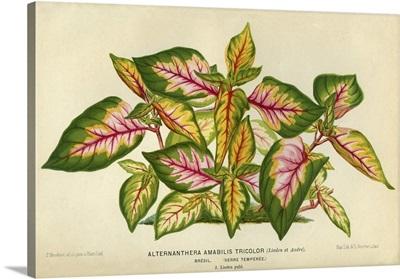 Alternanthera Amabilis Tricolor