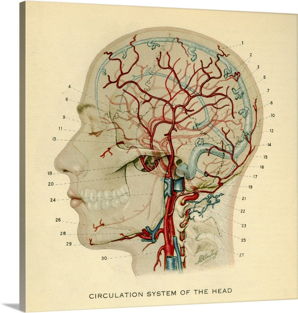 Anatomy Diagram Showing Crucial Veins In Human Head And Neck Wall