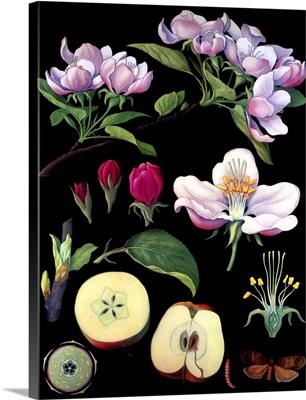 Apple Tree - Botanical Illustration