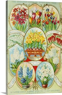 Autumn 1900 Winter Blooming