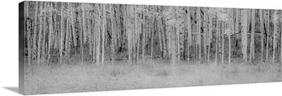 Black and White Birch
