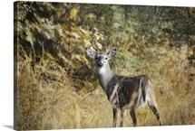 Buck In Autumn
