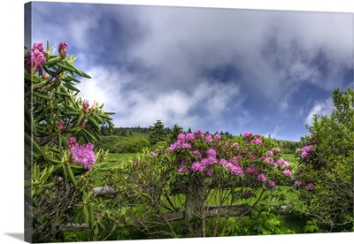 Carver's Rhododendron