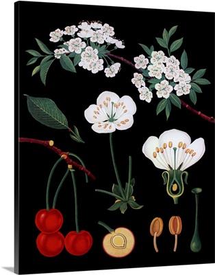 Cherry Tree - Botanical Illustration