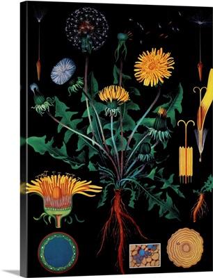 Dandelion - Botanical Illustration