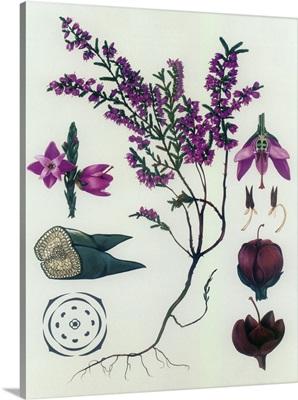 Heather - Botanical Illustration