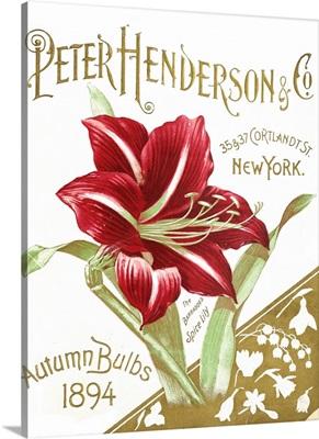 Henderson Amaryllis