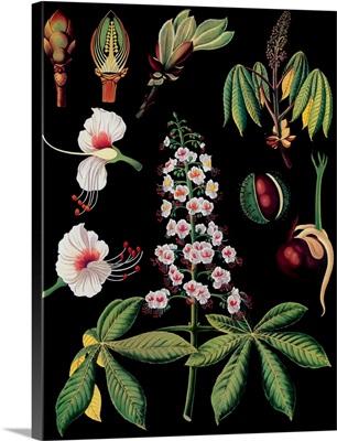 Horse Chestnut - Botanical Illustration