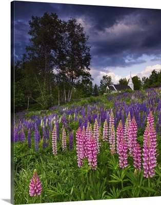 Lupines on the Hill