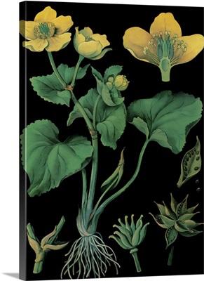 Marsh Marigold - Botanical Illustration
