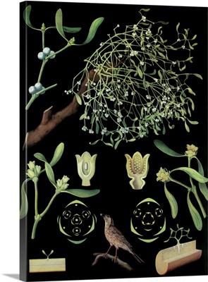 Mistletoe - Botanical Illustration