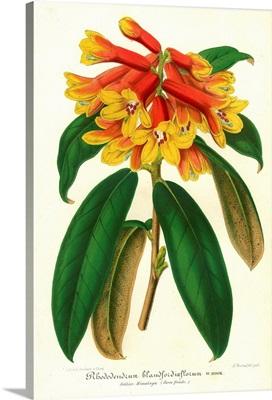 Orange Yellow Rhododendron