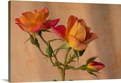 Peachy Rose II