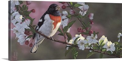 Rose Breasted Grosbeak and Apple Blossoms