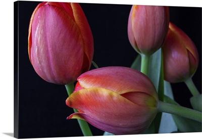 Spring Tulips III