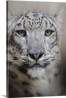 Stare Of The Snow Leopard
