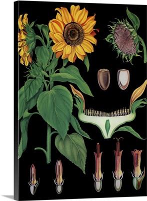 Sunflower - Botanical Illustration