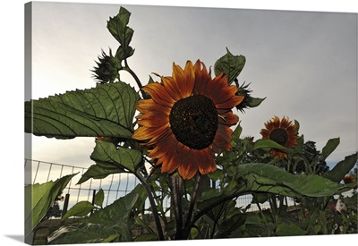 Sunflowers and Storm