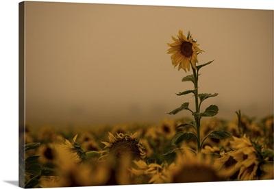 Sunflowers Fog