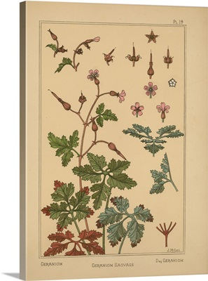 The Plant and its Ornamental Applications, Plate 19 - Geranium