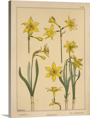 The Plant and its Ornamental Applications, Plate 28 - Daffodil