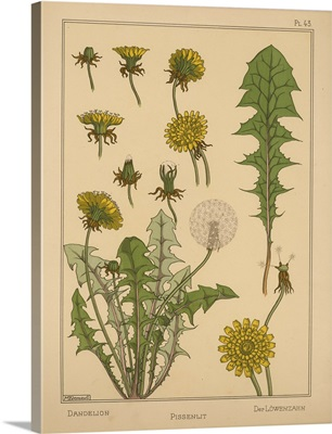 The Plant and its Ornamental Applications, Plate 43 - Dandelion