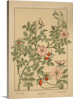 The Plant and its Ornamental Applications, Plate 67 - Wild Rose